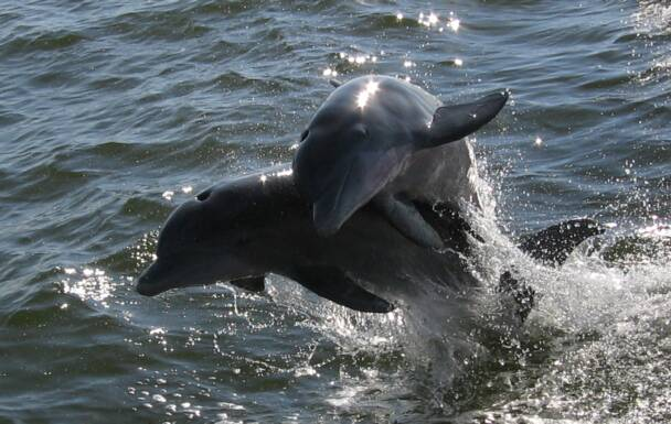 Dolphins at play along the Alabama Gulf coast